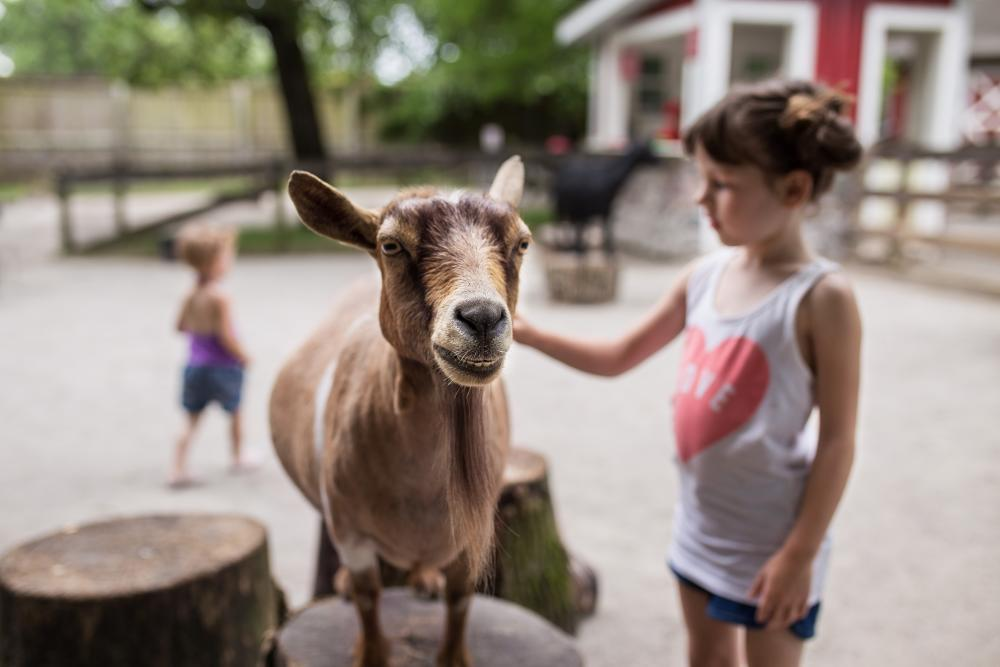 A goat being brushed in the Indiana Farm Exhibit at the Fort Wayne Children's Zoo in Indiana