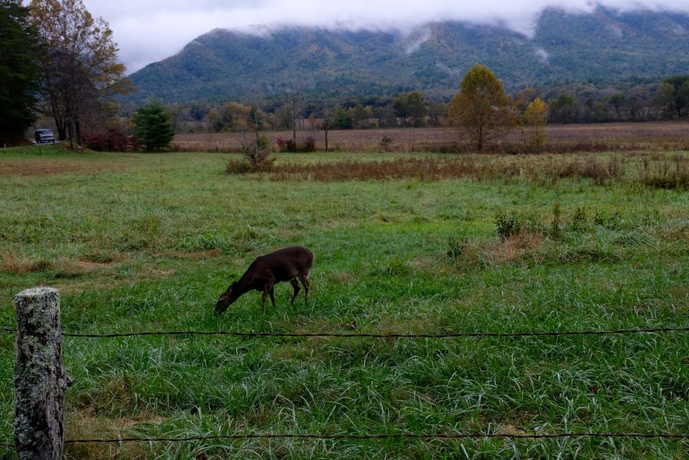 Deer in the Smokies