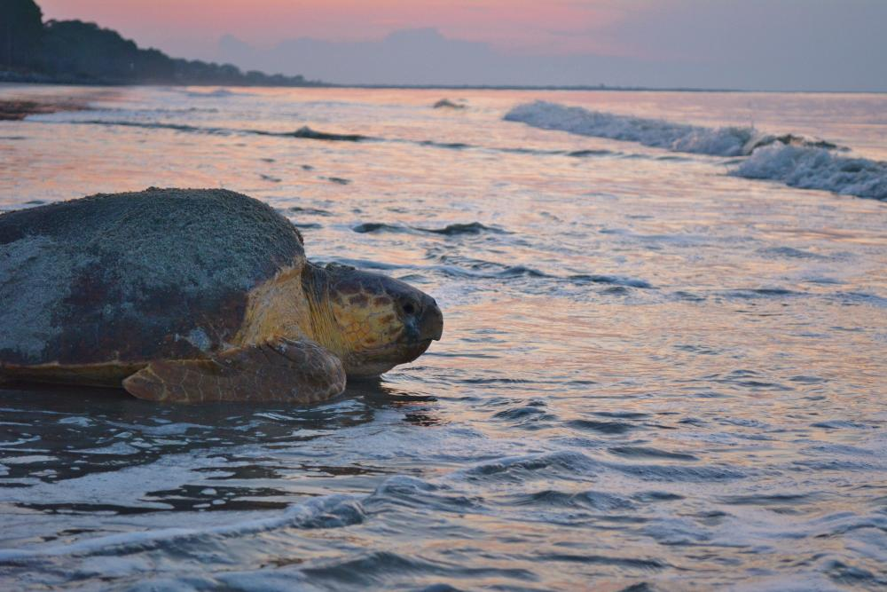 A loggerhead sea turtle mother returns to the ocean after laying her nest on the beach on Sea Island, GA