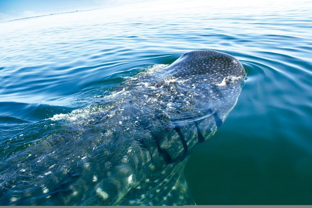 Whale Shark Surfacing