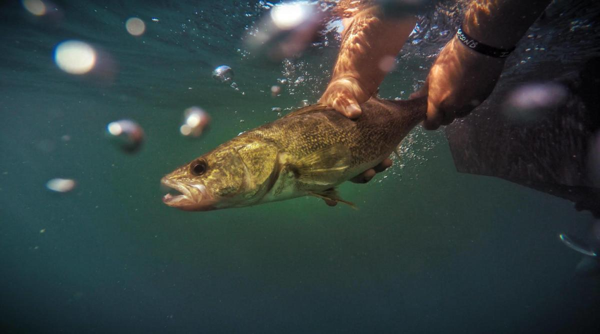 Angler pulling up a walleye from the water with his hands