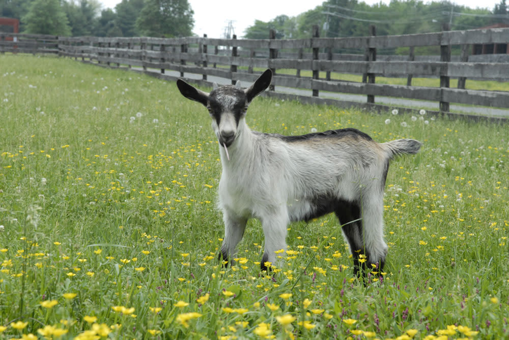 Frying Pan Farm Park - goat