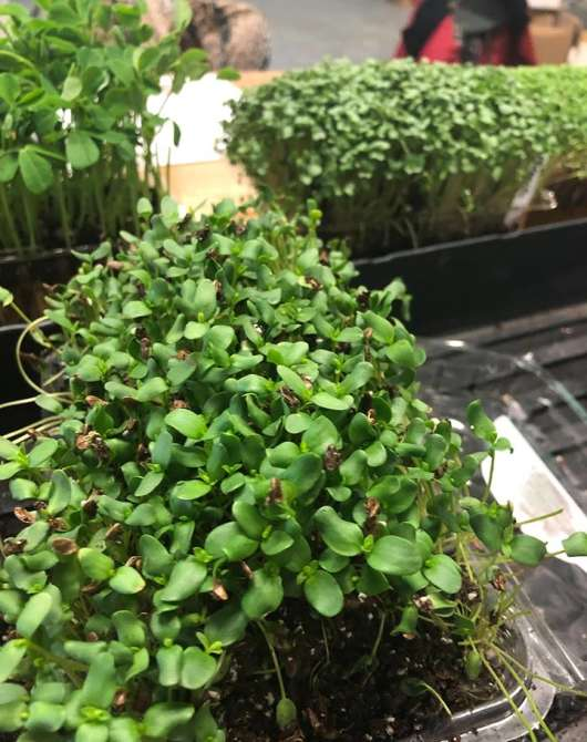 Growing Microgreens: A Hands-On Workshop