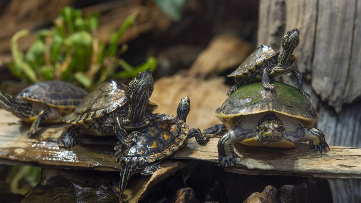 Tennessee Aquarium_Freshwater turtles on log