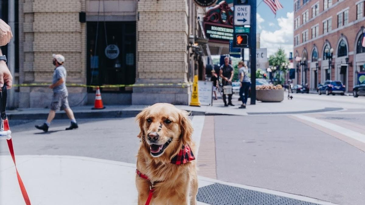 Golden Retriever Exploring Downtown Knoxville