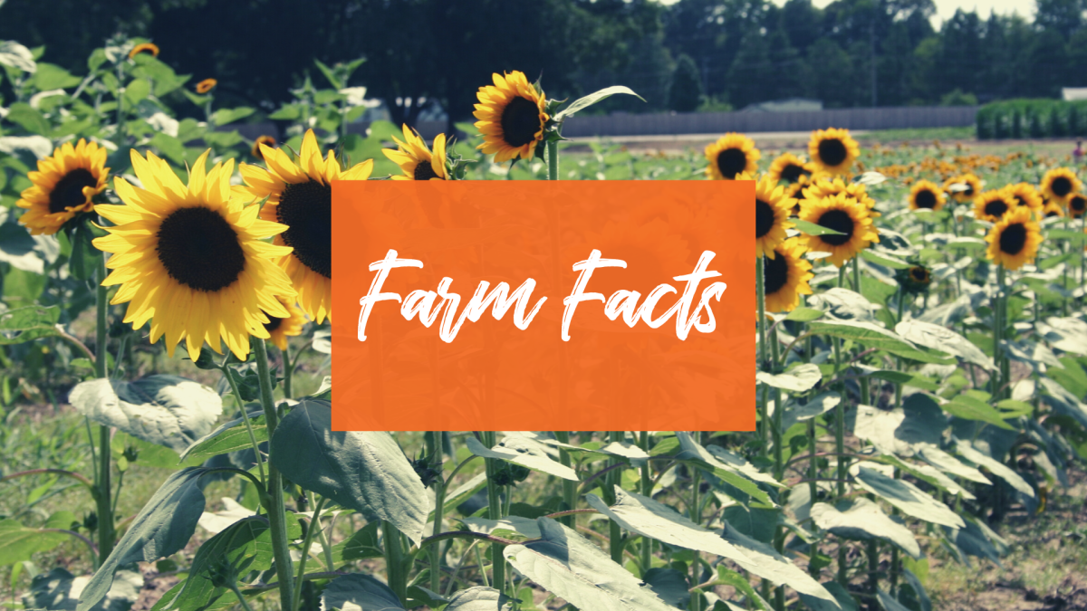 Farm facts about agriculture in Johnston County, NC.