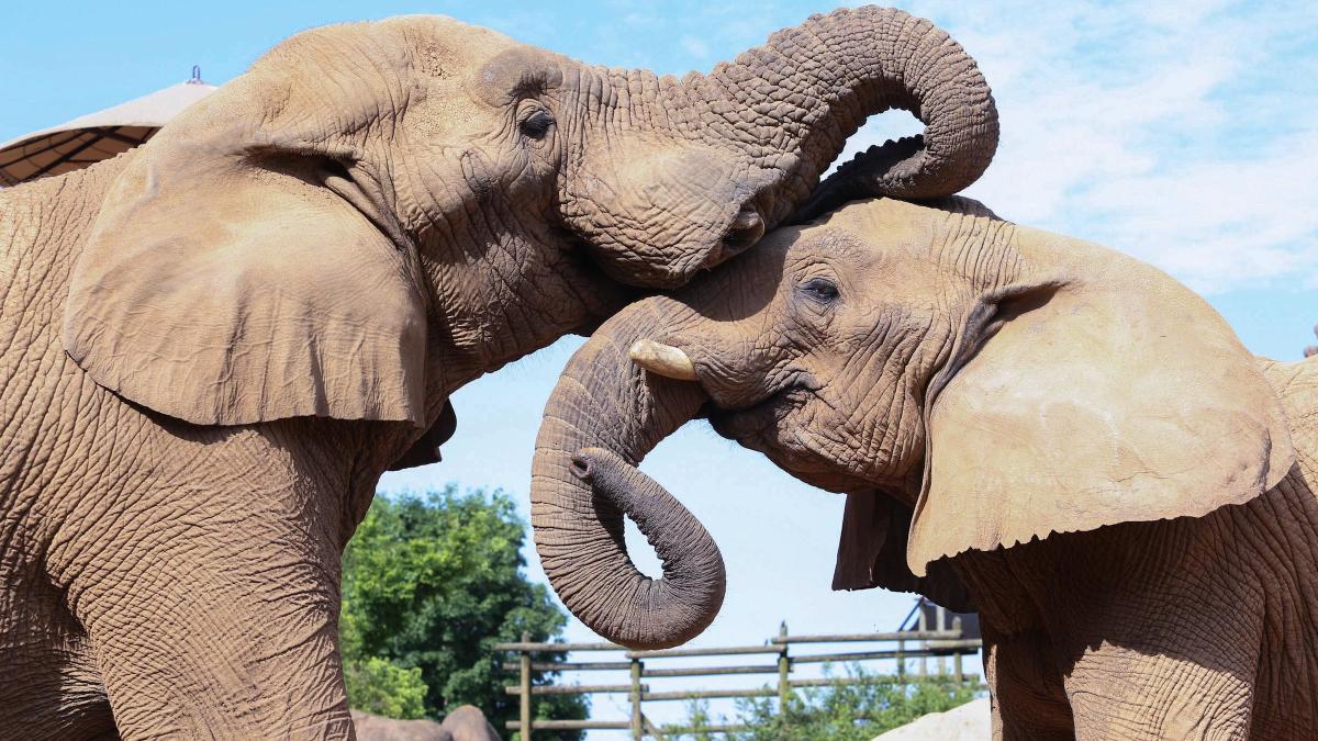VK Elephant