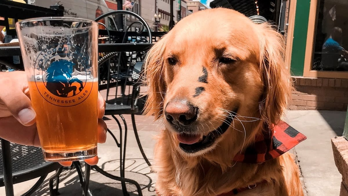 Golden Retriever At Blackhorse Brewing Patio