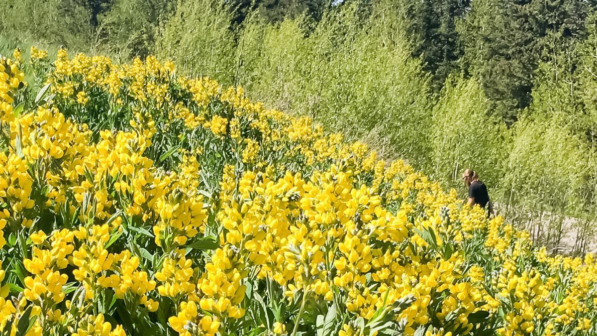 Thermopsis montana - Mountain Goldenbanner