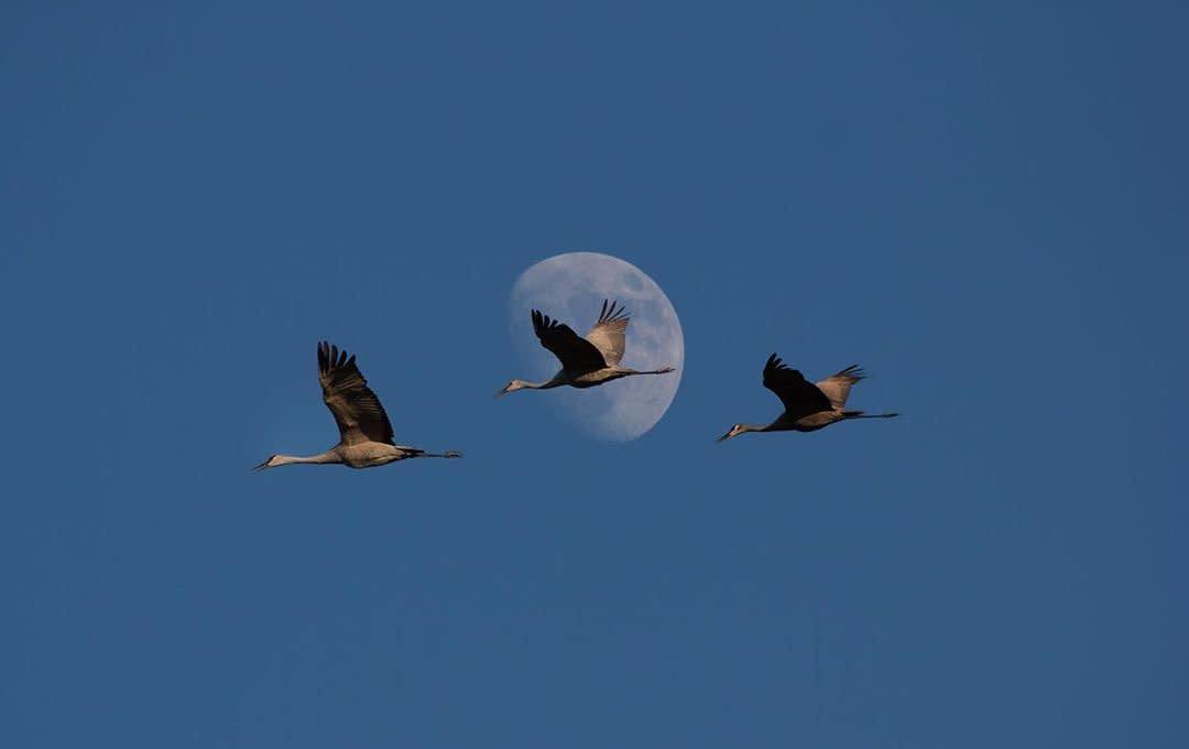 Sandhill Cranes Moon