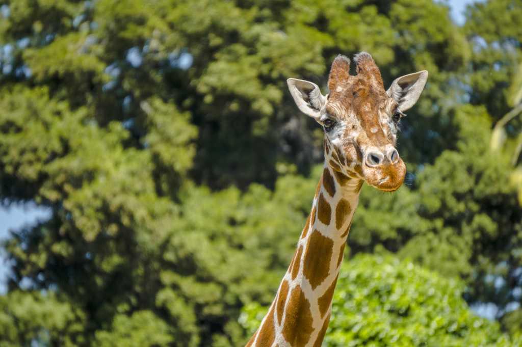 Oakland Zoo Giraffe