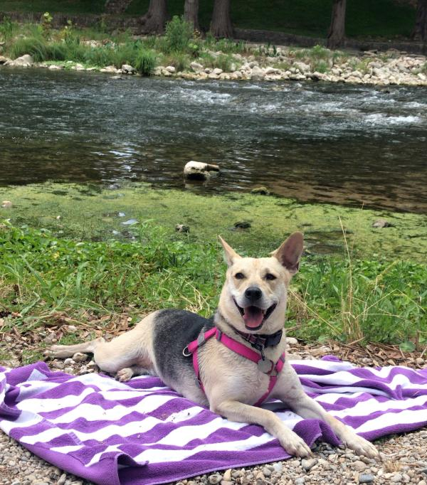 A black and tan mixed breed dog lays on a beach towel next to the Guadalupe River after a fun swim!