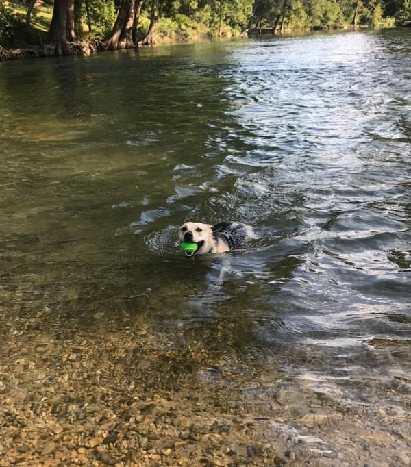 A black and tan dog swims to the shore of the Guadalupe River, triumphantly returning a green tennis ball for another round of fetch!