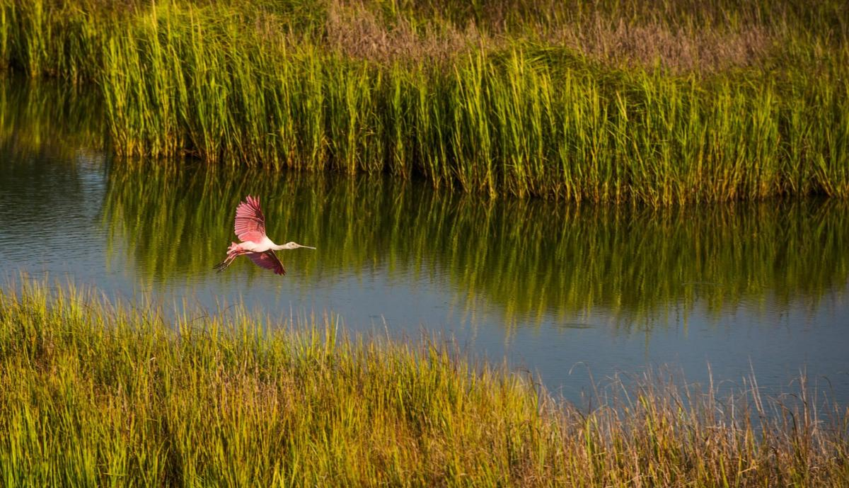 A roseate spoonbill glides across the marshes on Little St. Simons Island, GA