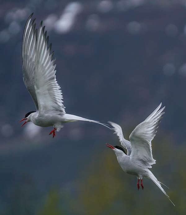 two Arctic Terns in a courtship flight