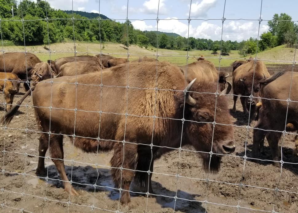 Bison at Mud Creek Bison Ranch
