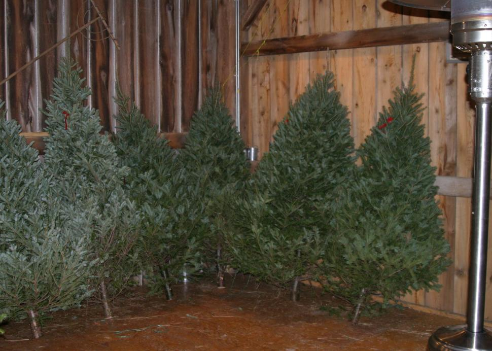 Christmas trees in the barn