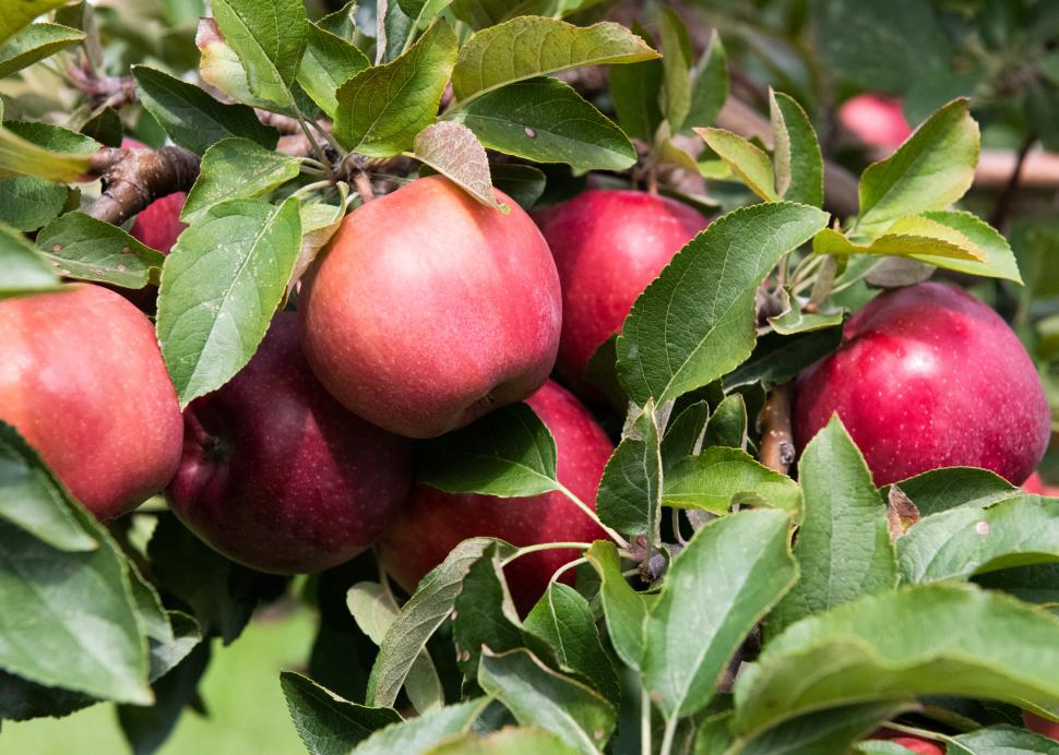 Apples hang from trees at the Apple Farm in Victor