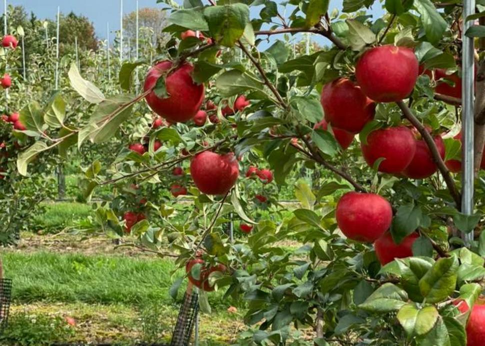 Burrell's Navarino Orchard
