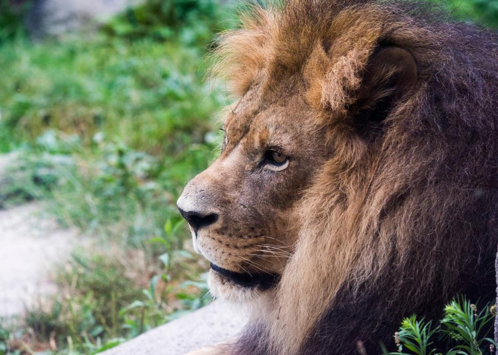 Lion at Rosamond Gifford Zoo at Burnet Park