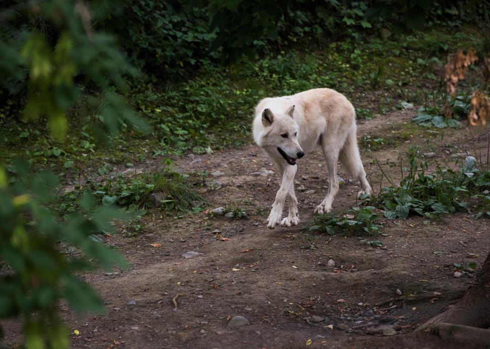 Wolf at Rosamond Gifford Zoo at Burnet Park