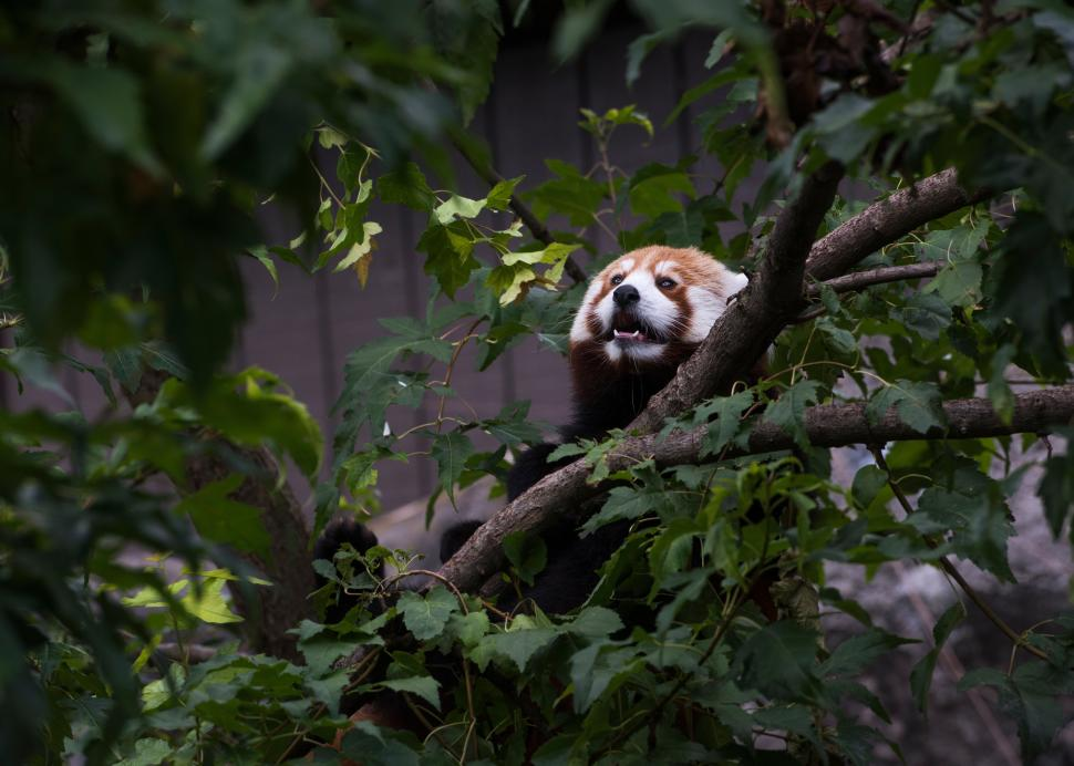 Red panda at Rosamond Gifford Zoo at Burnet Park