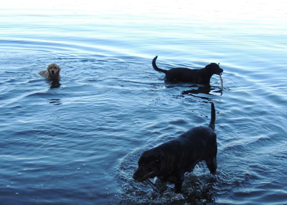 Dogs wading in Cayuga Lake