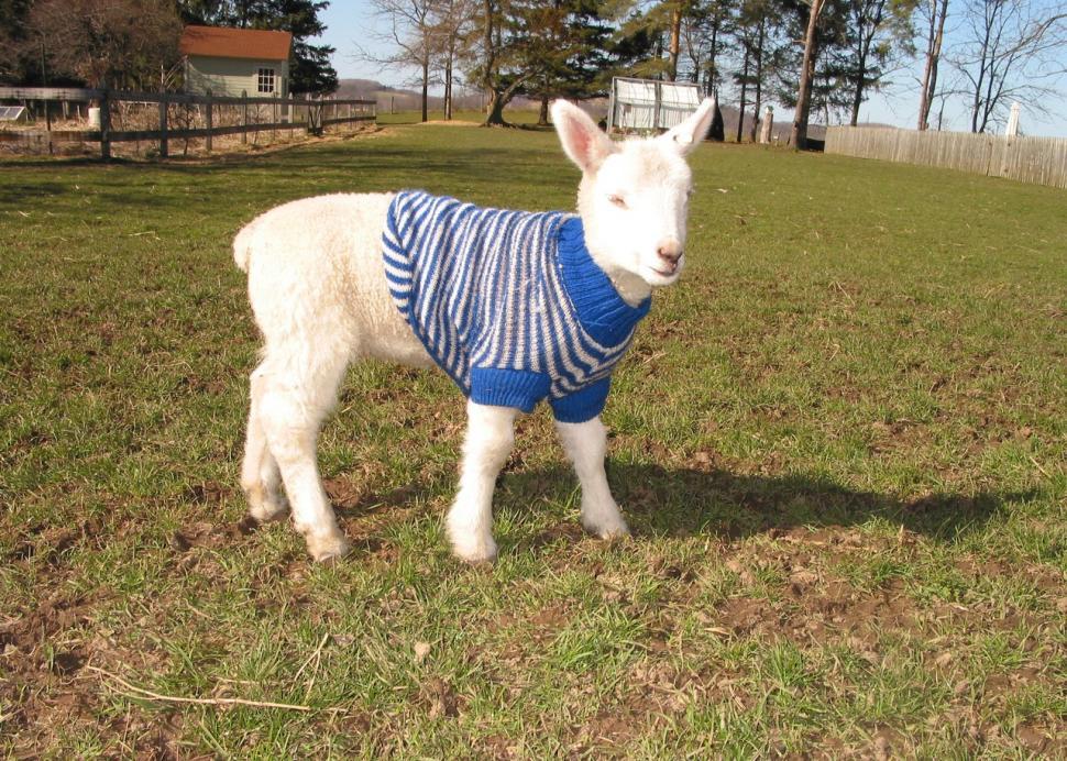 Sheep at Parragon Farm