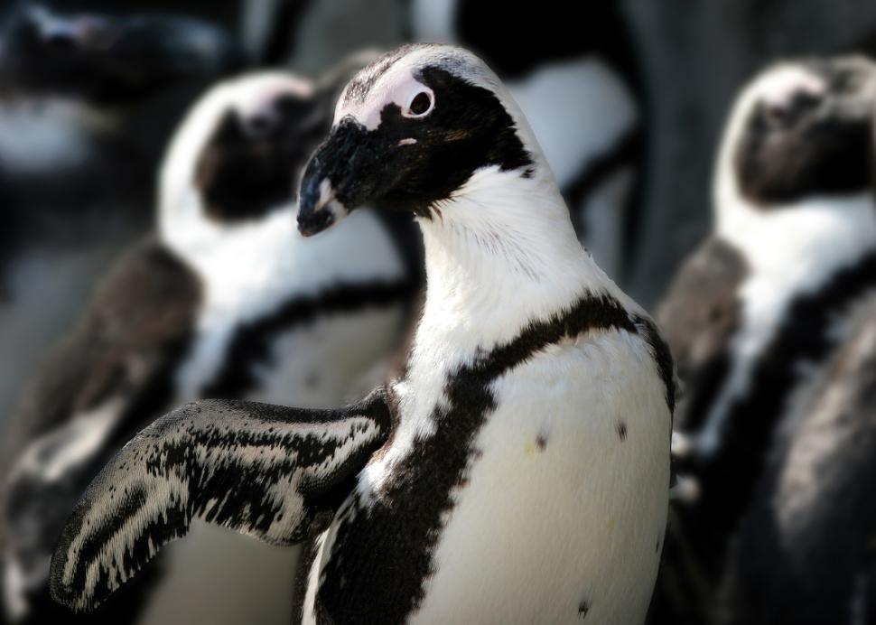 African Penguin at Seneca Park Zoo (photo credit Joe Territo)