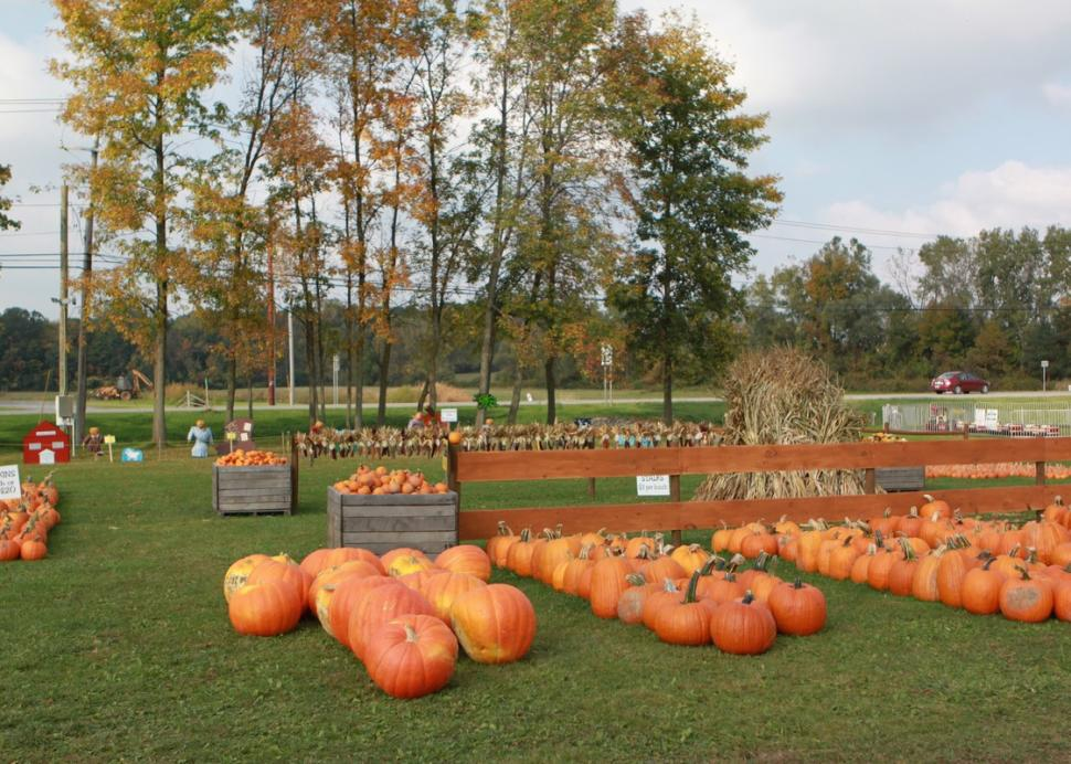 Pumpkins that are perfect for carving!