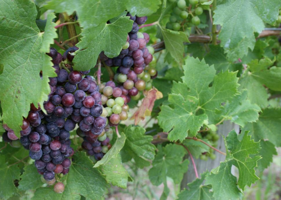 canandaigua-wine-trail-canandaigua-grapes