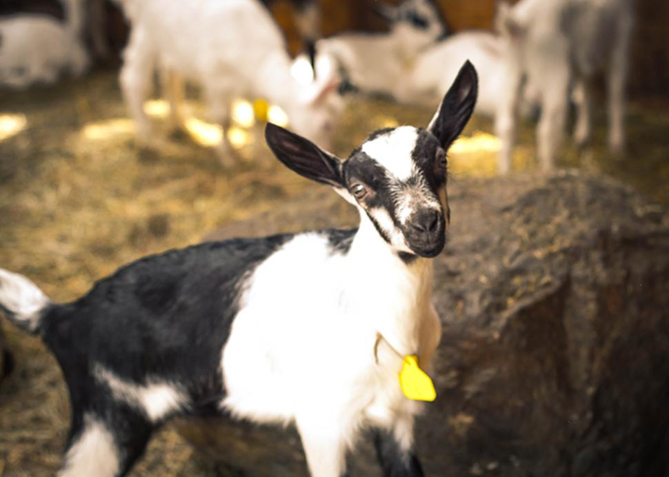 LIVELY RUN GOAT DAIRY