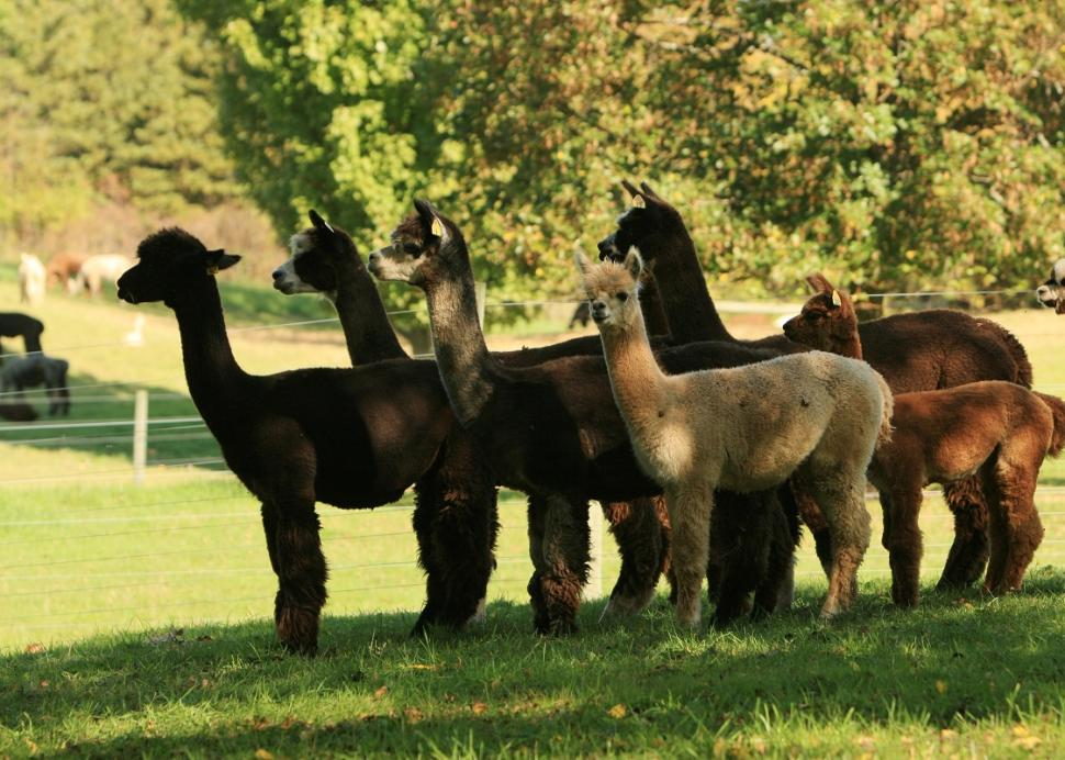 lazy-acre-alpacas-bloomfield-alpacas