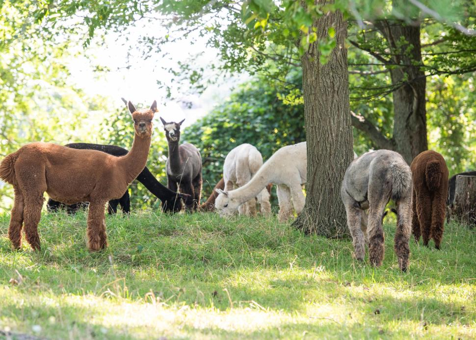 A group of alpacas stare at the camera for a photo at Lazy Acres Alpaca Farm
