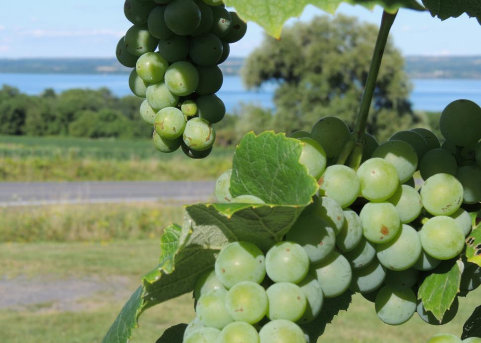 Vineyard overlooking Cayuga Lake