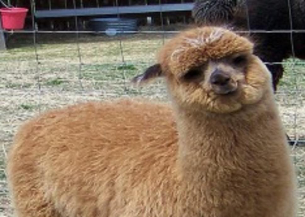 Close-Knit Alpacas