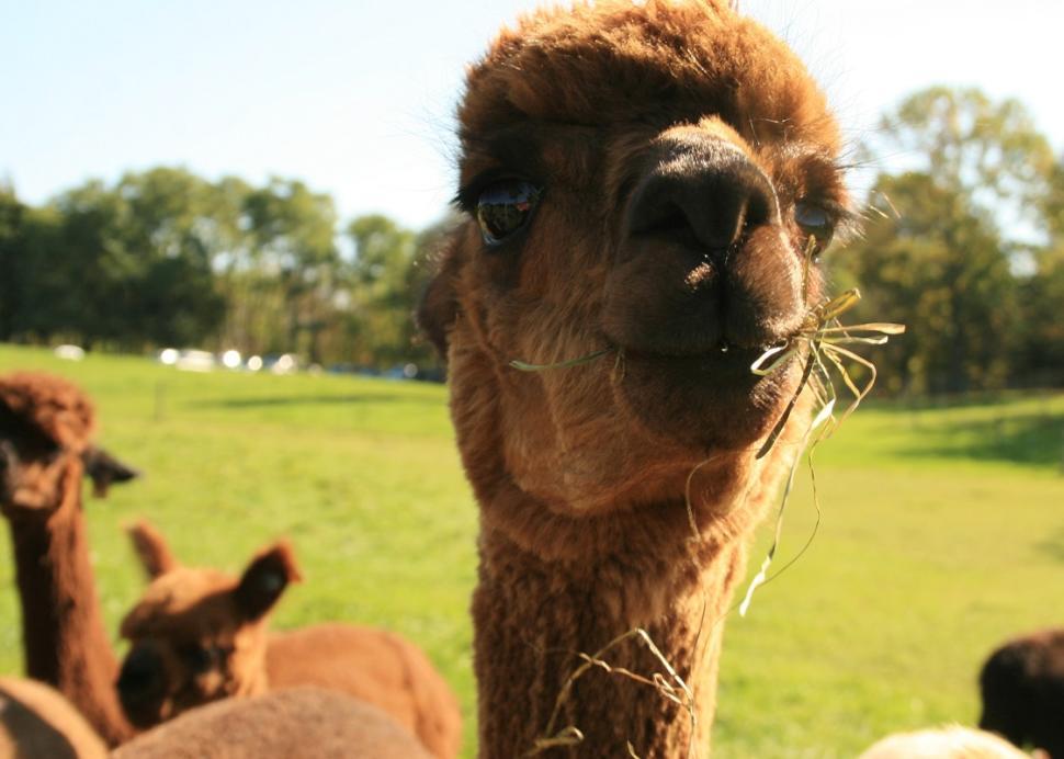 lazy-acre-alpacas-bloomfield-alpaca