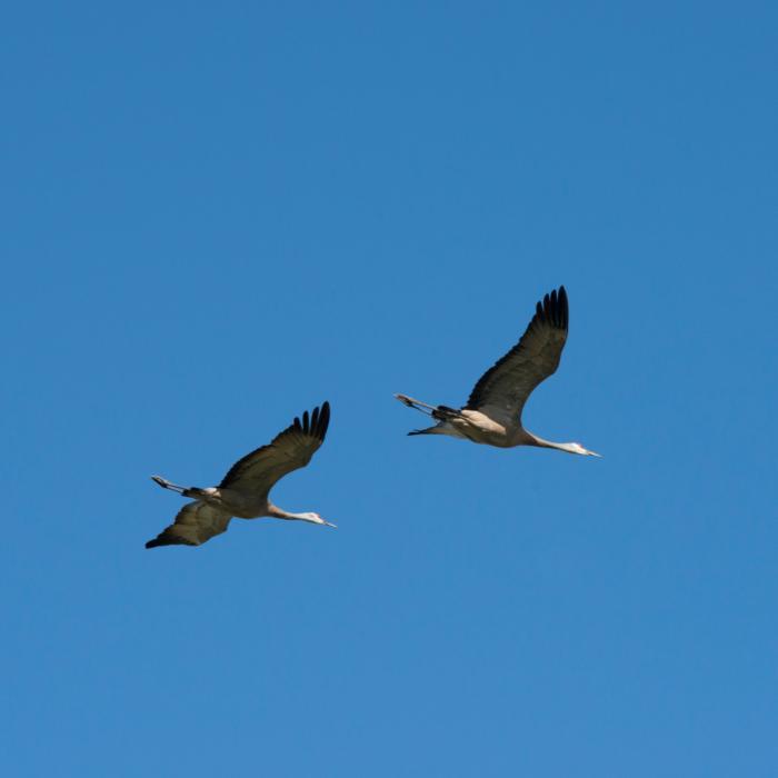 Crane Creamers Field Blue Sky