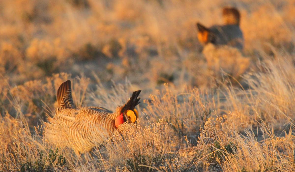 Prairie_Chickens