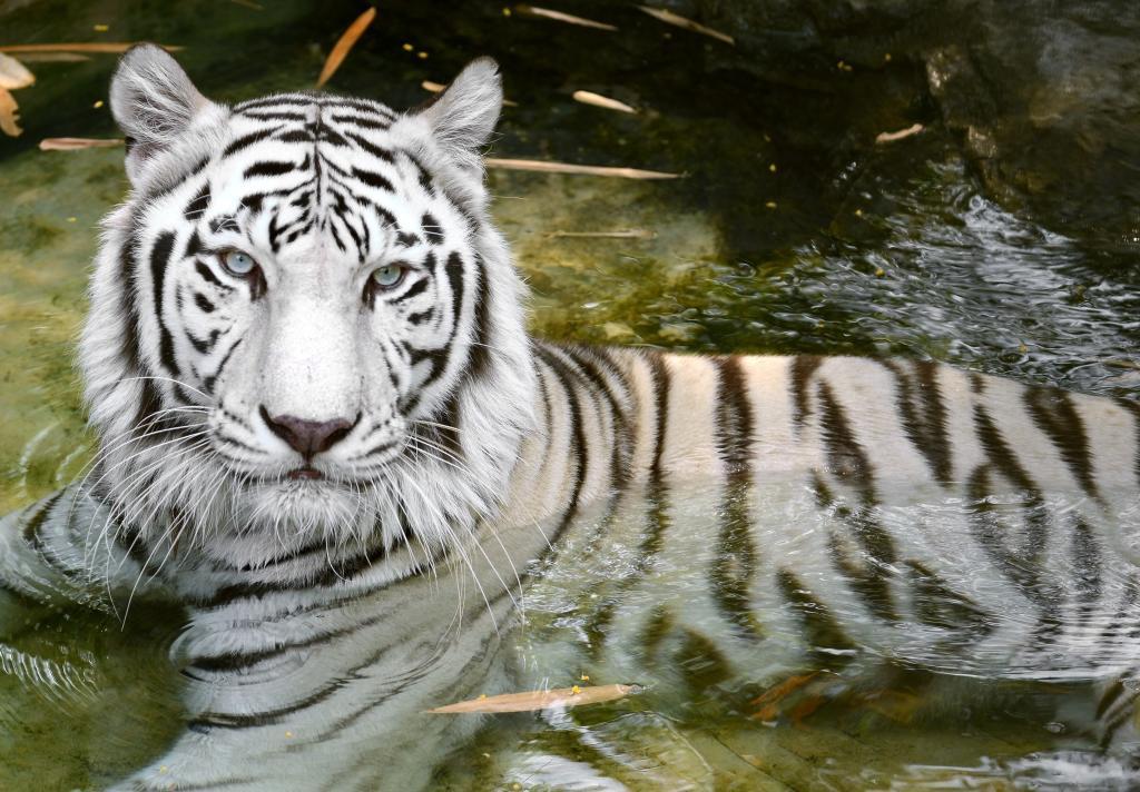 Bengal Tiger High Res