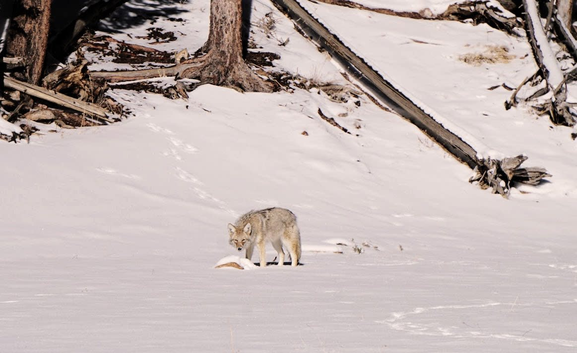 Coyote During Shutdown
