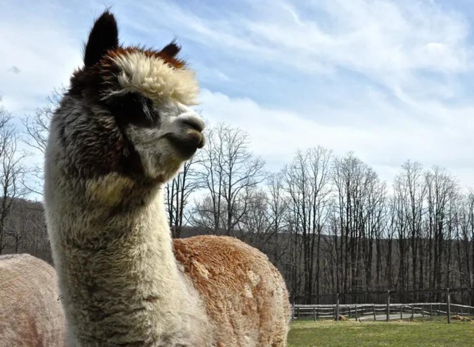 Faraway Farm Alpacas closeup