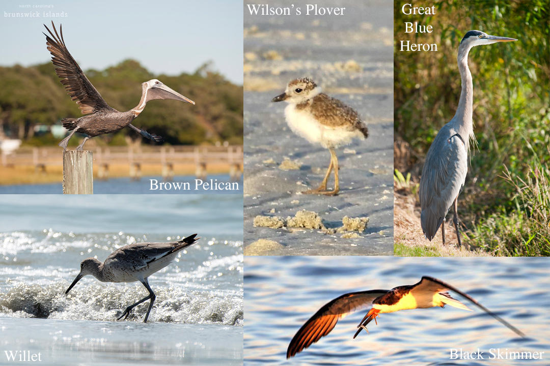 Birds of North Carolina's Brunswick Islands