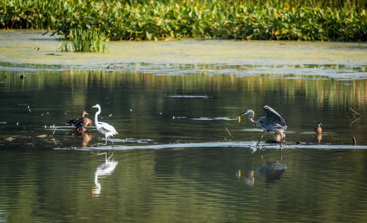 Water Fowl at Wildwood Park in Harrisburg, PA