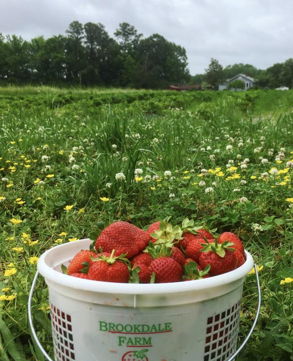 Brookdale Farms Strawberry Picking
