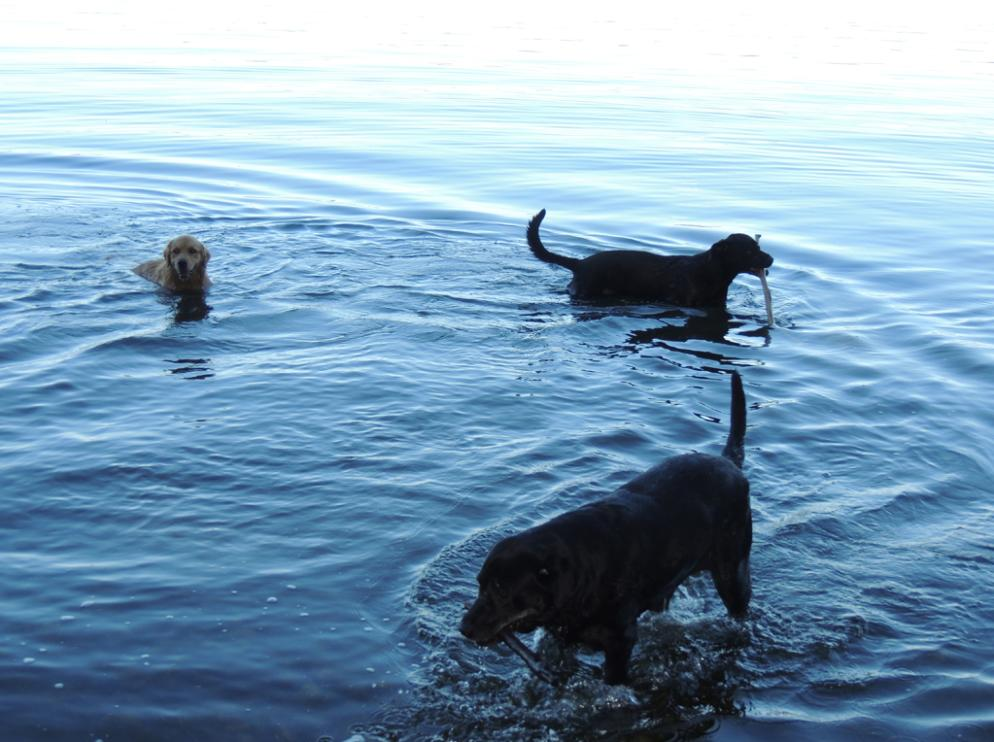 Dogs wading in Cayuga Lake
