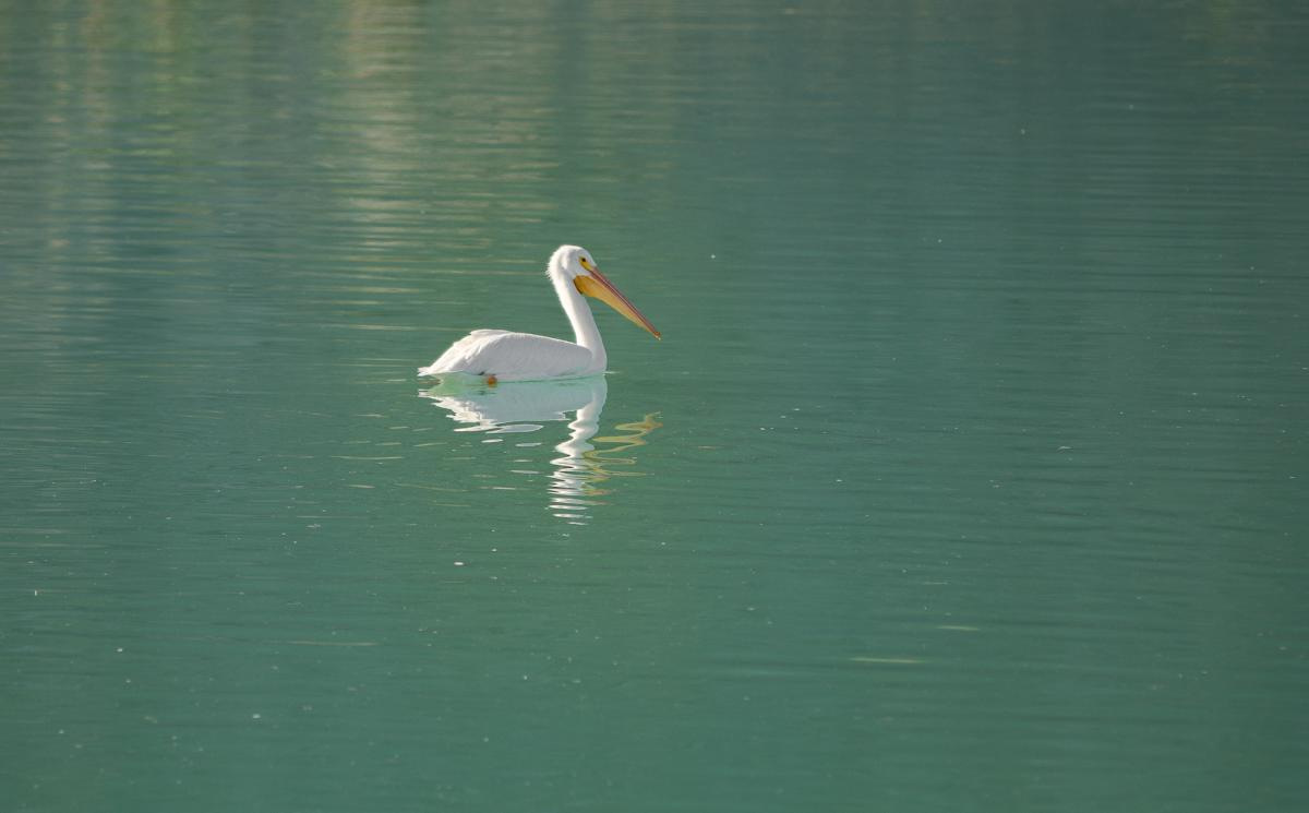 Pelican floating in the water at Lake Cahuilla Recreation Area