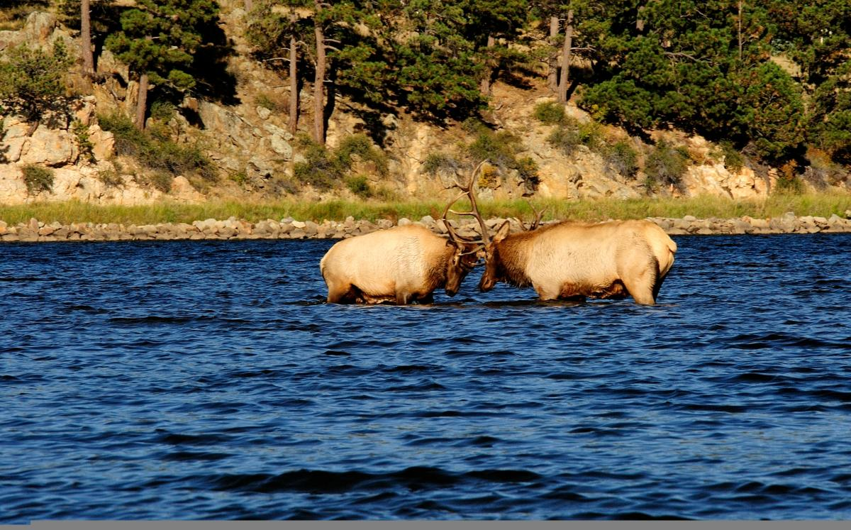 Elk Sparring in Lake Estes