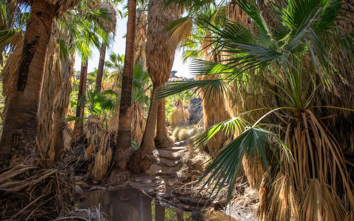 Palm trees and an oasis in the Andreas Canyon hiking trail in Indian Canyons
