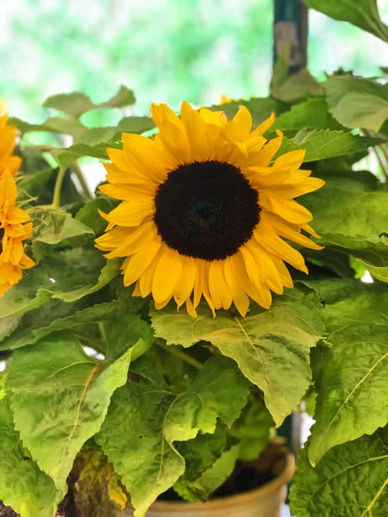 Farmers Markets - Fairbanks Alaska - sunflower